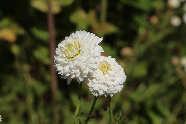 fleurs de camomille romaine avec lesquelles on fait l'huile essentielle