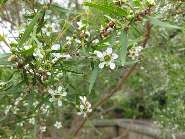 Fleurs de leptospermum petersonii ou citronné