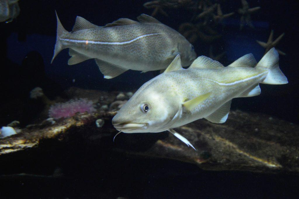 La laitance de poisson est riche en minéraux et oligo-éléments.