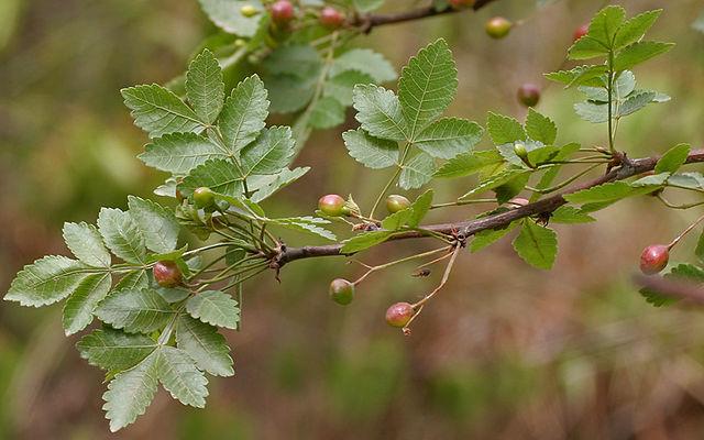 Fruits et feuilles du Bursera Delpechiana