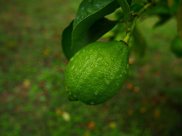 Citron vert ou citrus limon