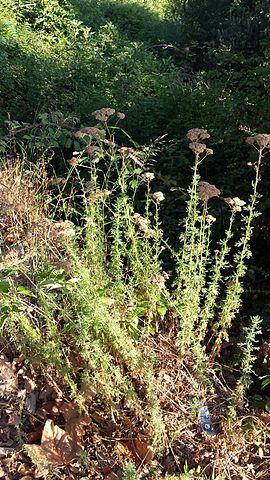 Fleurs et feuilles d'Achillea Ligustica