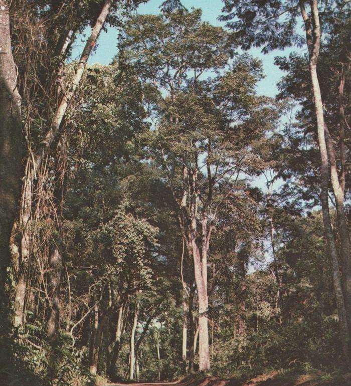 Arbre Myrocarpus Frondosus