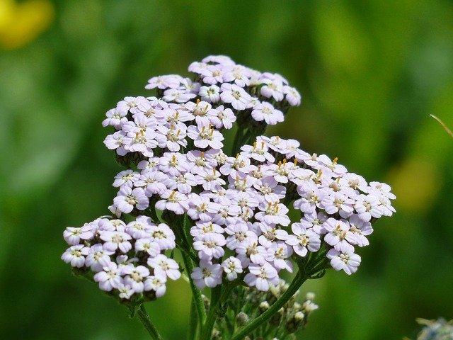 Fleurs d'Achillée Millefeuille.