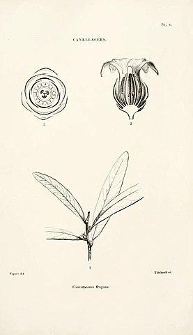 Cinnamosma fragrans ou saro
