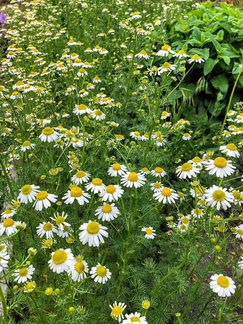 Fleurs de Camomille Allemande