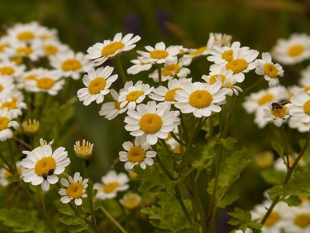 Fleurs de Chrysanthemum parthenium