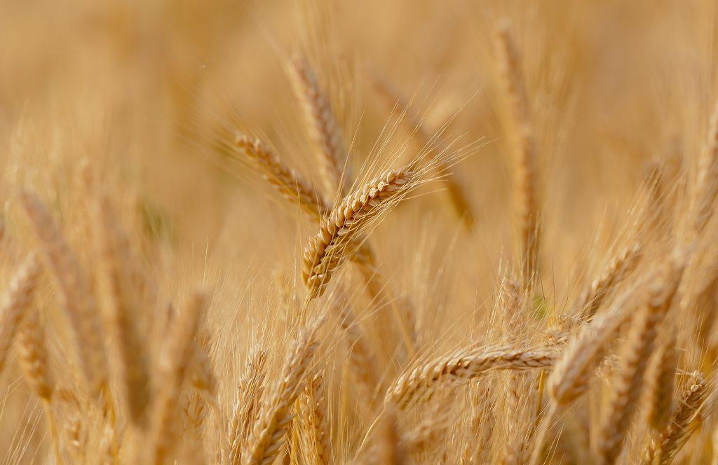 L'huile de germe de blé est riche en nutriments.