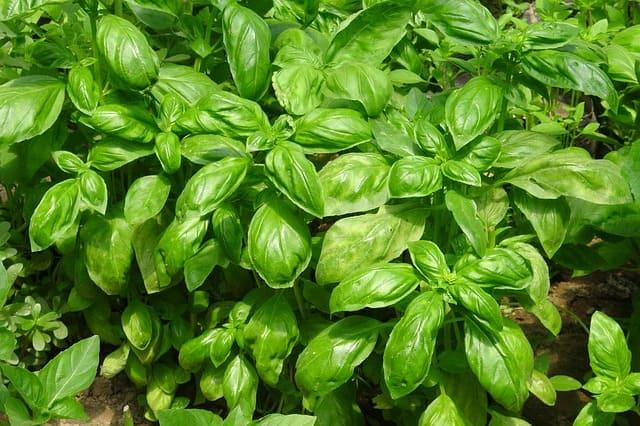 Petit basilic ou basilic fin vert tropical