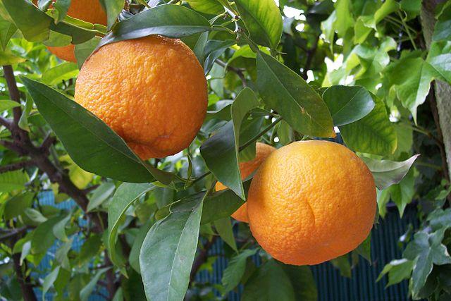 Bigarades, orange amer ou citrus aurantium