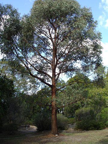 Eucalyptus radié ou Eucalyptus radiata