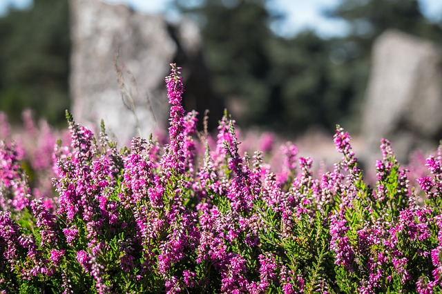 Heather, la bruyère commune