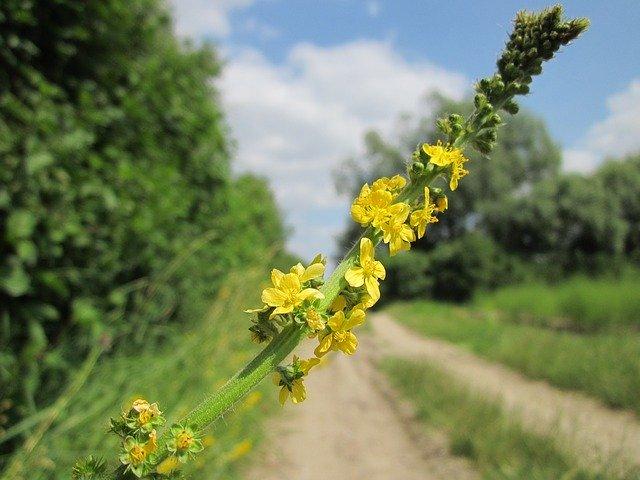 Agrimony ou l'aigremoine est une fleur de Bach.