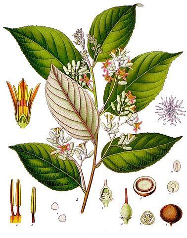 Styrax benzoe ou Benjoin de Sumatra