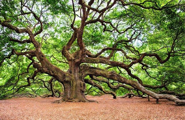 Oak, le chêne, est une fleur de Bach