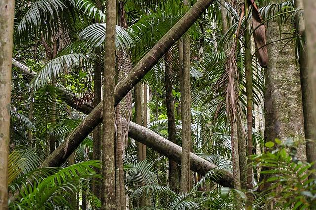 Eucalyptus à cryptone ou Eucalyptus polybracté à cryptone