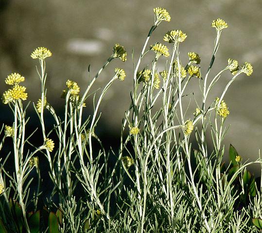 Helichrysum italicum ou hélichryse italienne