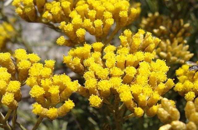 Helichrysum gymnocephalum ou Hélichryse femelle