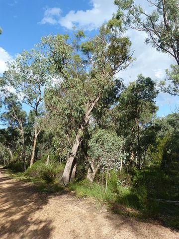 Eucalyptus dives ou eucalyptus mentholé
