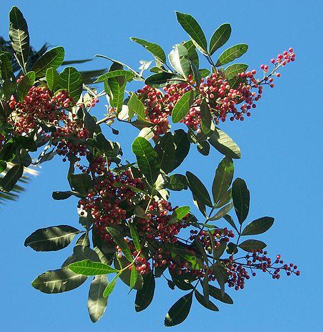 Schinus terebinthifolia, qui donne l'huile essentielle de baie rose