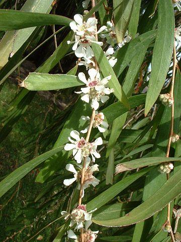 Fragonia ou Agonis Fragans
