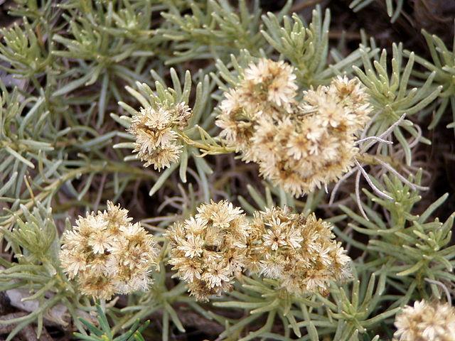 Helichrysum faradifani