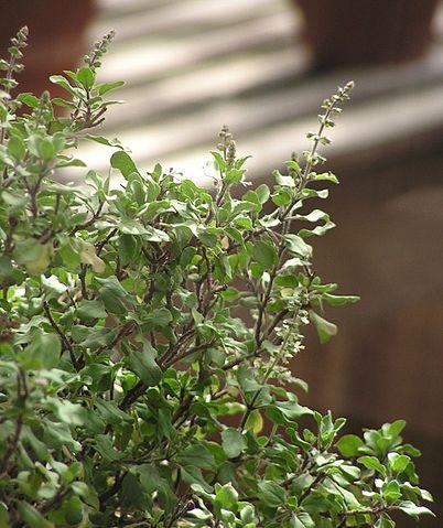 Basilic sacré, basilic Tulsi, Ocimum sanctum ou Ocimum tenuiflorum