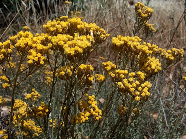 Helichrysum bracteiferum ou Hélichryse mâle