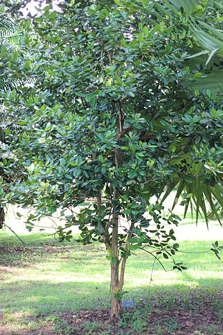 Pimenta racemosa ou Bay de Saint Thomas