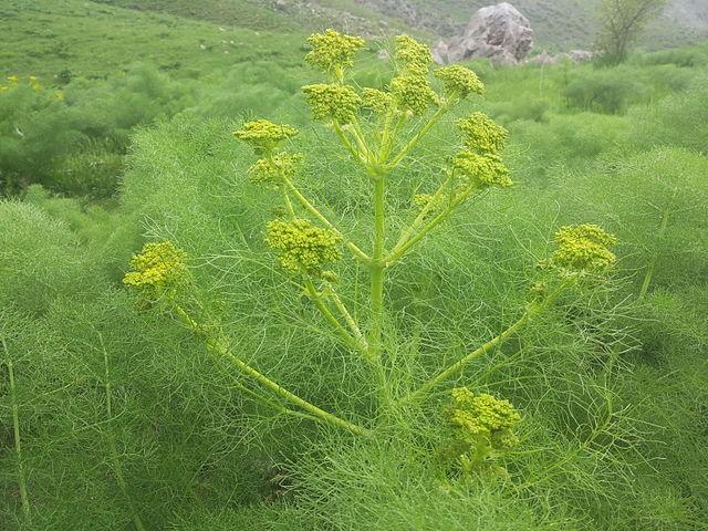 Fleurs de Galbanum