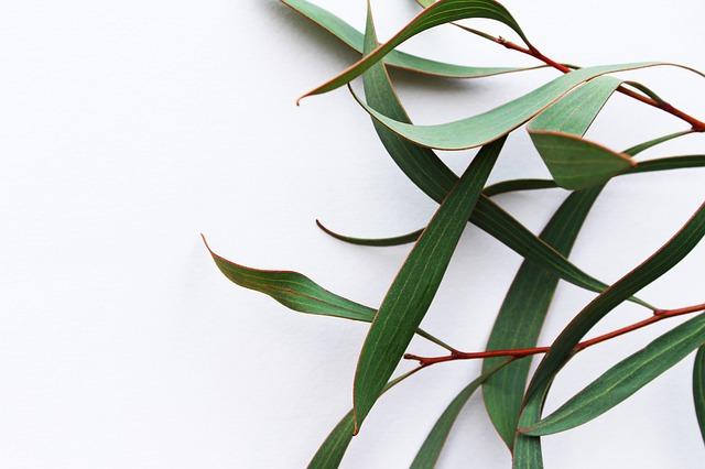 Eucalyptus phellandra