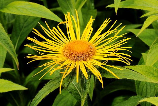 Inule odorante ou Inula graveolens donne une huile essentielle, qui permet de lutter contre la sinusite.