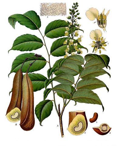 Myroxylon balsamum ou baume de Tolu