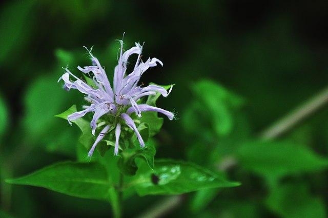 L'huile essentielle de monarde est issue de la plante Monarda fistulosa.