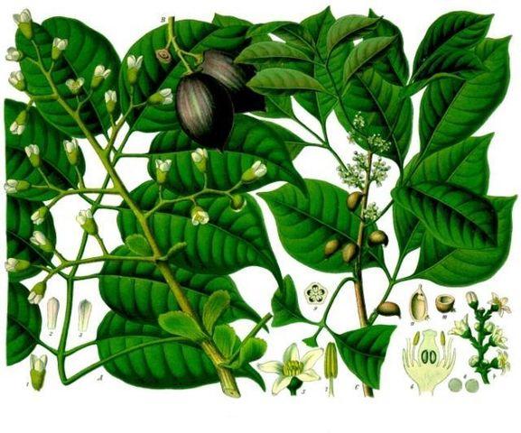 L'huile essentielle d'élémi est extraite de la pante Canarium luzonicum.