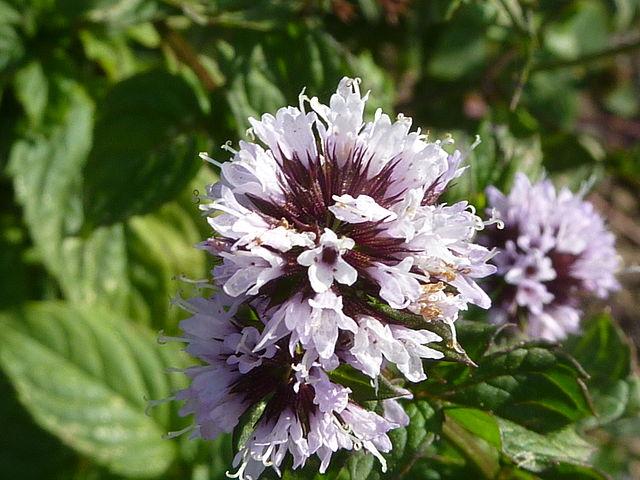 L'huile essentielle de menthe bergamote est obtenue à partir de la Mentha citrata.