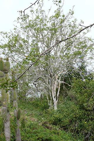 L'huile essentielle de Palo Santo est issue de l'arbre Bursera graveolens.