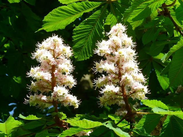 White Chestnut, le marronnier blanc.