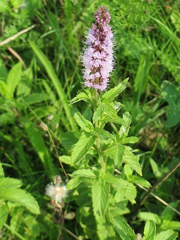 L'huile essentielle de menthe verte est issue de la Mentha Spicata.