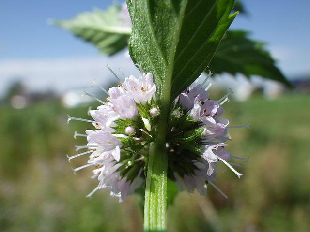 L'huile essentielle de menthe des champs est obtenue à partir de la Mentha Arvensis.