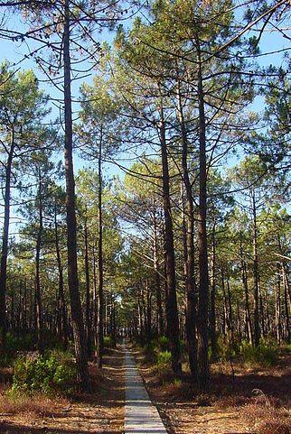 L'huile essentielle de pin maritime est réalisée à partir du Pinus pinaster.