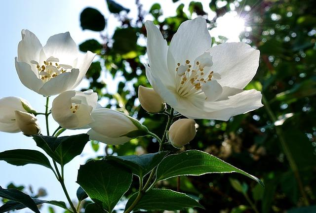 L'huile essentielle de jasmin dispose de nombreux bienfaits.