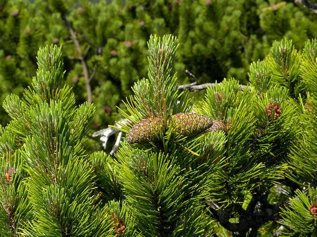 L'huile essentielle de pin des montagnes est réalisée à partir du pin mugo.