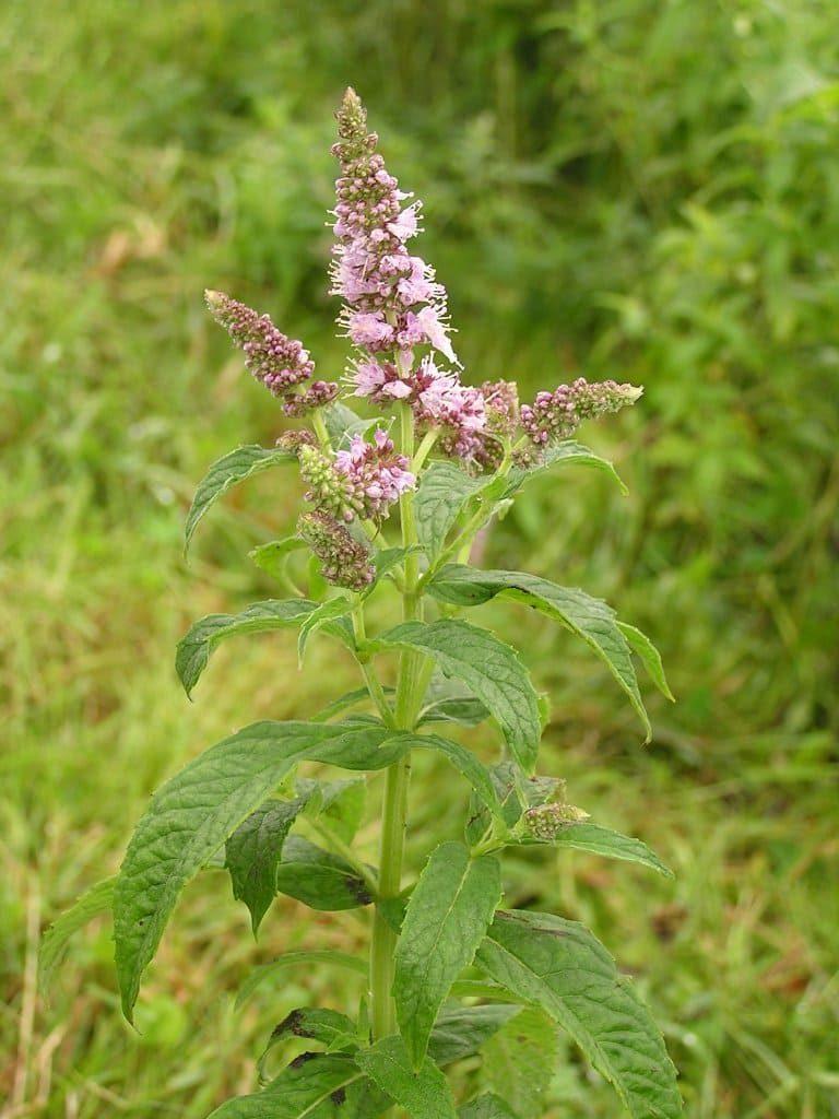 L'huile essentielle de menthe sylvestre est issue de la Mentha longifolia.