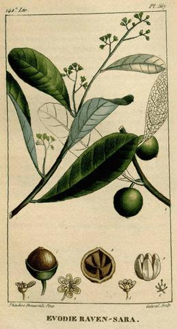 L'huile essentielle de Ravensare est issue de l'arbre Ravensara Aromatica.