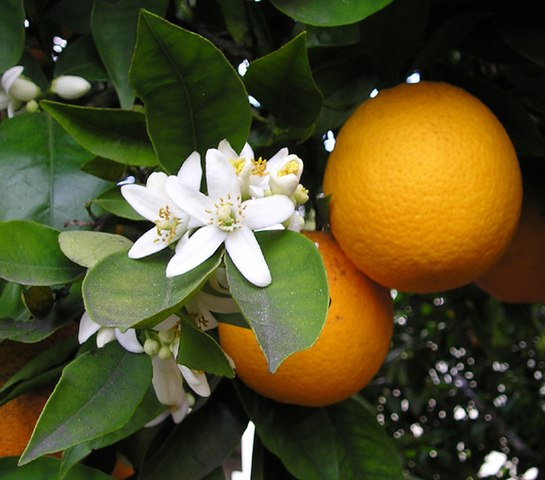 L'huile essentielle de citrus sinensis est issue de l'oranger doux.