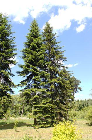 L'huile essentielle de Sapin de Sibérie est issue de l'arbre Abies siberica.