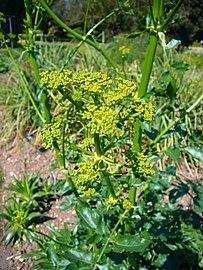 L'huile essentielle d'opoponax est réalisée à partir de la plante Opoponax Chironium.