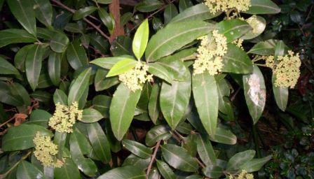 L'huile essentielle de myrte citronné est réalisée à partir de la plante Backhousia citriodora.