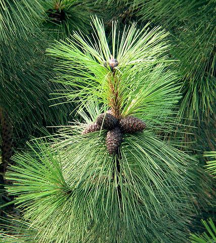 L'huile essentielle du Pin de Patagonie est réalisée à partir du Pin Ponderosa.